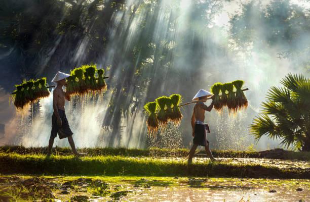 die landwirte tragen sämlinge. die menschen in der gemeinschaft arbeiten zusammen, um reis zusammenzubringen. die lebensweise der südostasiatischen menschen zu fuß durch ländliche gebiete, reisfelder, arbeit hart in den reisfeldern, thailand. - laos stock-fotos und bilder
