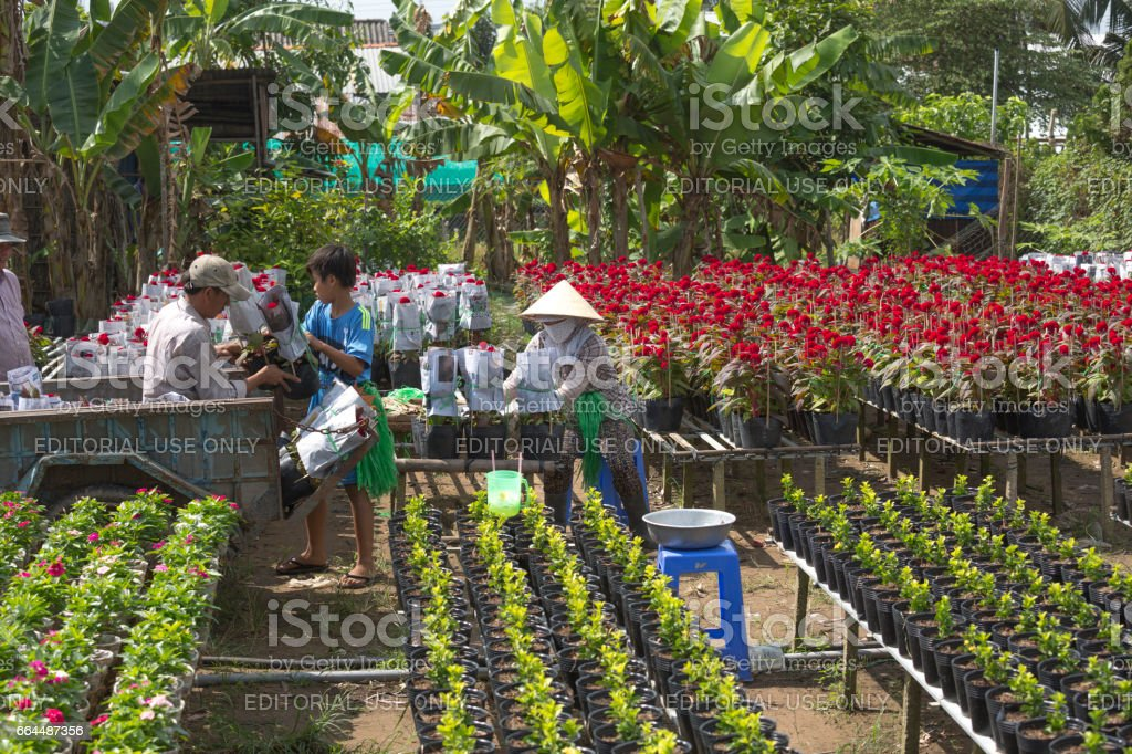 farmers are harvesting chrysanthemums for sale on Lunar New Year stock photo