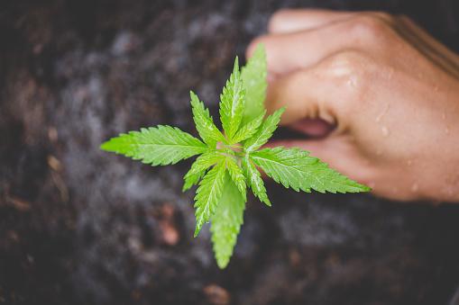 1082247550 istock photo Farmers are planting marijuana seedlings, Farmer Holding a Cannabis Plant. 1082247546