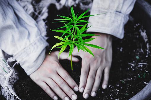 1082247550 istock photo Farmers are planting marijuana seedlings, Farmer Holding a Cannabis Plant. 1175931027