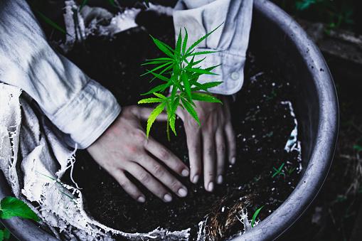 1082247550 istock photo Farmers are planting marijuana seedlings, Farmer Holding a Cannabis Plant. 1175931032