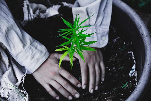 1082247550 istock photo Farmers are planting marijuana seedlings, Farmer Holding a Cannabis Plant. 1175931059