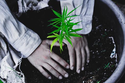 1082247550 istock photo Farmers are planting marijuana seedlings, Farmer Holding a Cannabis Plant. 1175931072