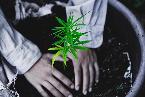 1082247550 istock photo Farmers are planting marijuana seedlings, Farmer Holding a Cannabis Plant. 1175931091