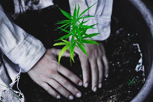 1082247550 istock photo Farmers are planting marijuana seedlings, Farmer Holding a Cannabis Plant. 1175931143