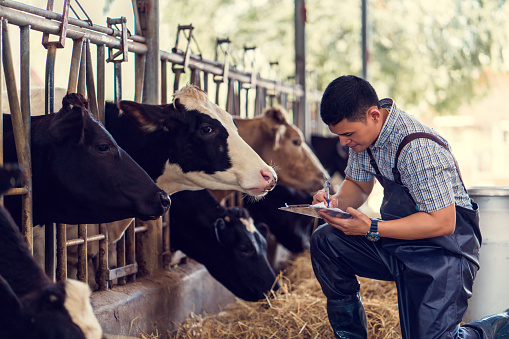istock Farmers are recording details of each cow on the farm. 931566626