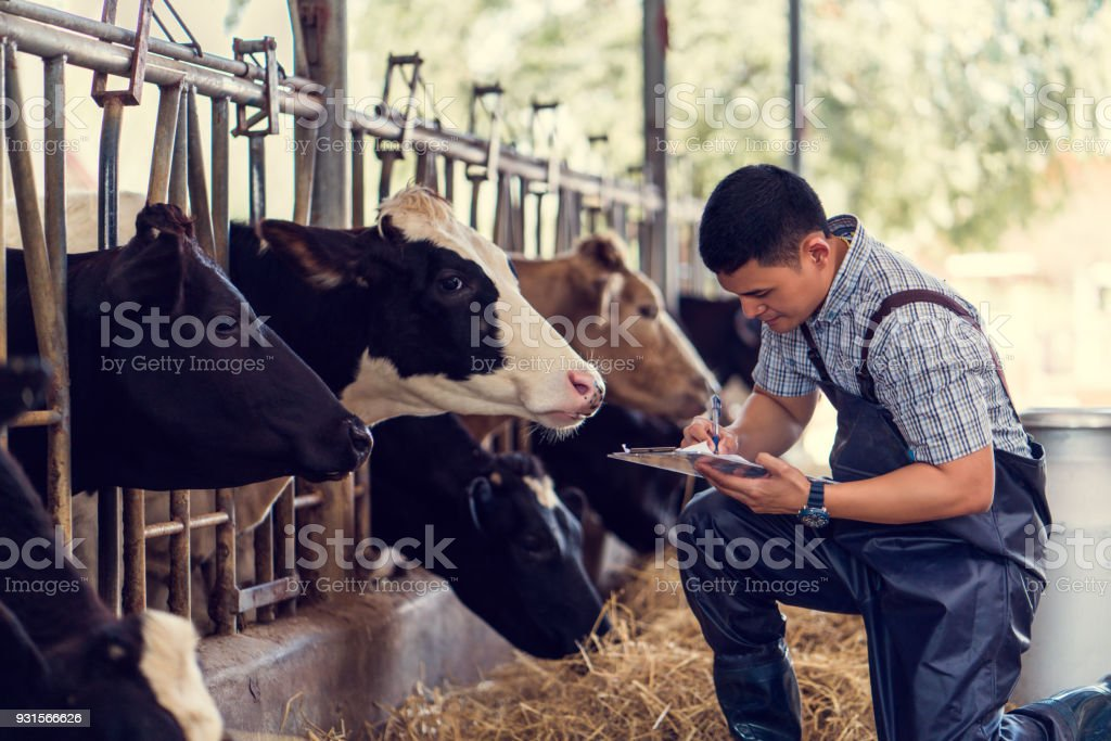 Farmers are recording details of each cow on the farm. stock photo