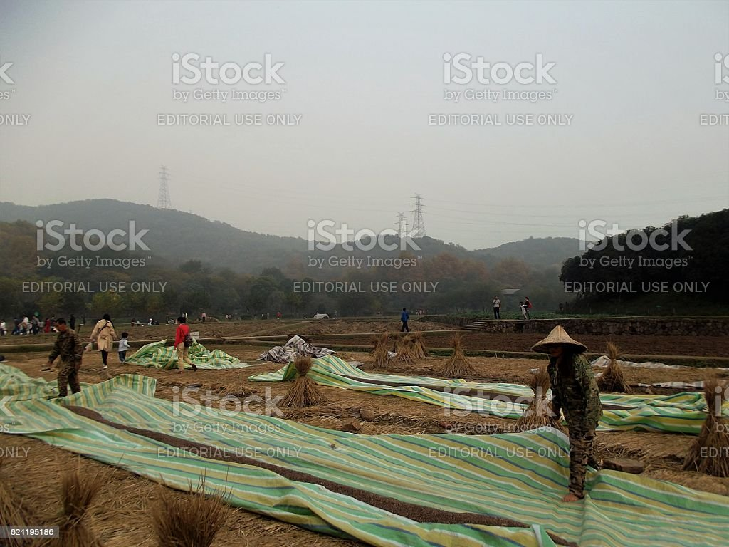 Farmers at Rice Harvest stock photo