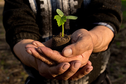 637583458 istock photo Farmers before planting in the hands holding Green sprout. The concept of farming and business growth. 954206942