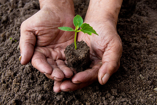 637583458 istock photo Farmers before planting in the hands holding Green sprout. The concept of farming and business growth. 954207640