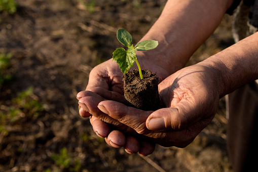 637583458 istock photo Farmers before planting in the hands holding Green sprout. The concept of farming and business growth. 954207788