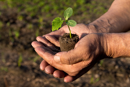 637583458 istock photo Farmers before planting in the hands holding Green sprout. The concept of farming and business growth. 954207938