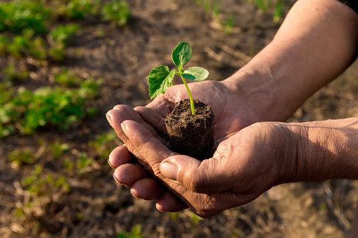 637583458 istock photo Farmers before planting in the hands holding Green sprout. The concept of farming and business growth. 954208202