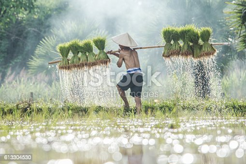 istock Farmers carry rice seedlings on a shoulder in the rainy 613304530