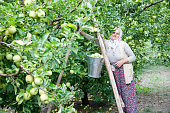 Farmer woman gather ripe apples in the apple orchard.Apple garden harvest time in September.Amasya,Turkey-29 September 2015.