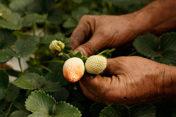 Farmer's dirty hand holding ripe and green strawberries on plantation. Strawberry cultivation. Organic. Greenhouse. Farmer's dirty hand holding ripe and green strawberries on plantation. Strawberry cultivation. Organic. Greenhouse strawberry field stock pictures, royalty-free photos & images
