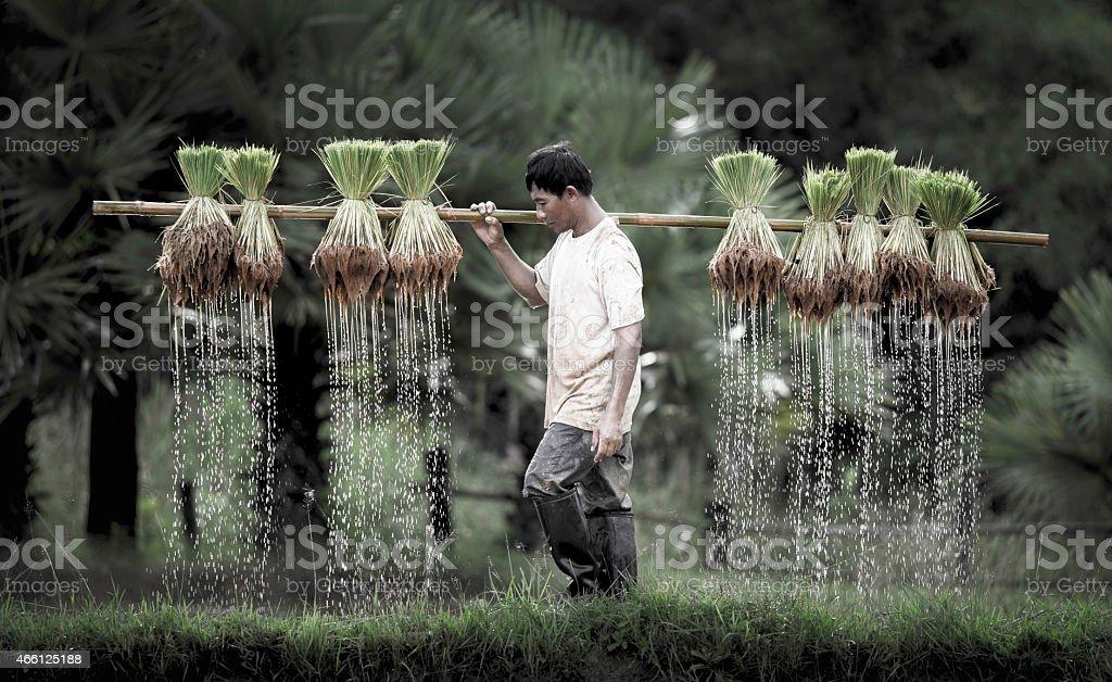 Farmers grow rice in the rainy season. stock photo