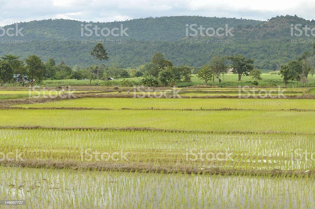Farmers grow rice, the rainy season royalty-free stock photo