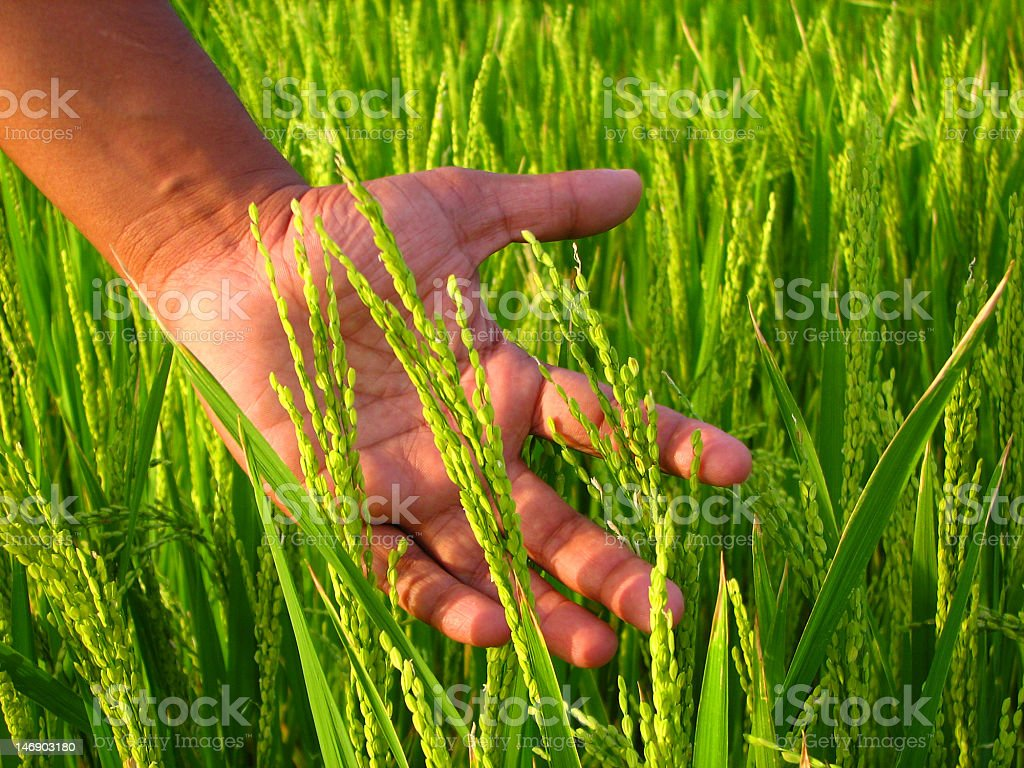 Farmer's hand and rice field royalty-free stock photo