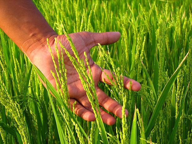 farmer's hand and rice field - sawa stockfoto's en -beelden