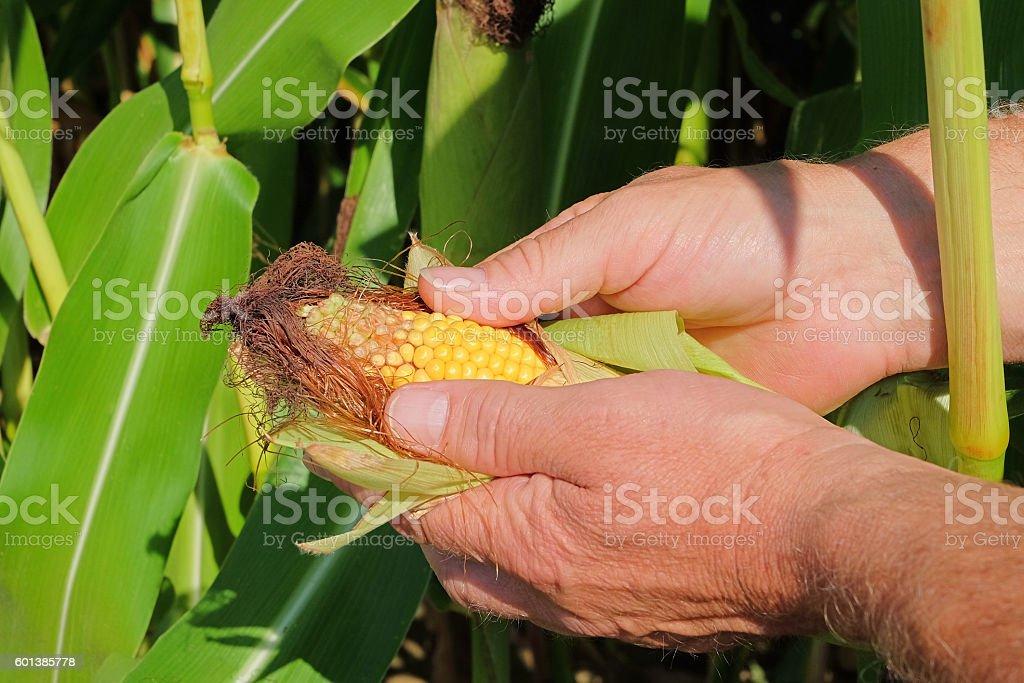 Farmers hand checking harvest (Sweetcorn). Selective focus – Foto