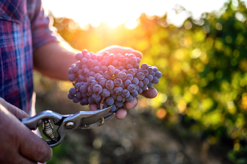Farmer's hand holding harvested grapes
