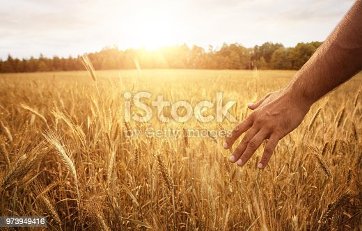 Harvest concept, close up of male farmer hand in the wheat field with copy space