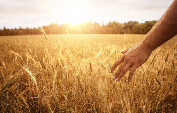Farmers hand in the wheat field Harvest concept, close up of male farmer hand in the wheat field with copy space wheat stock pictures, royalty-free photos & images