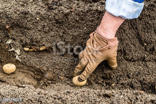 Farmer's hand planting potato tuber into the ground in bio garden, organic potatoes seeds