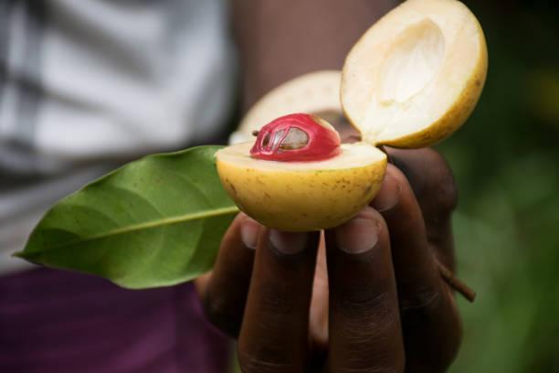 Farmers hand presenting a fresh nutmeg fruit cut in half displaying the mace and nut in Zanzibar stock photo