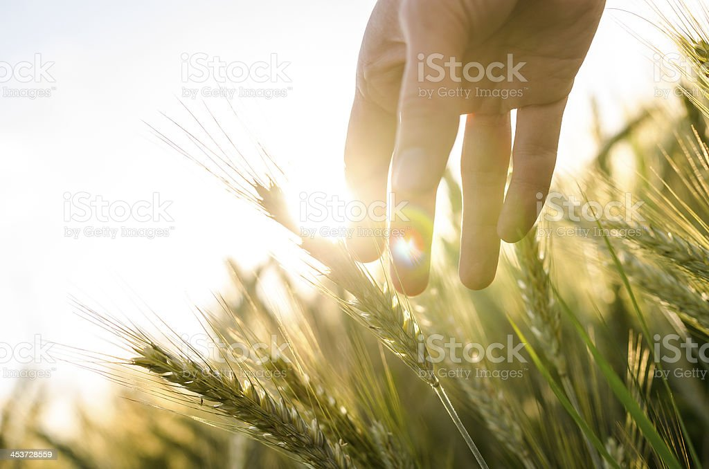 Farmer's hand touches heads of wheat plants stock photo