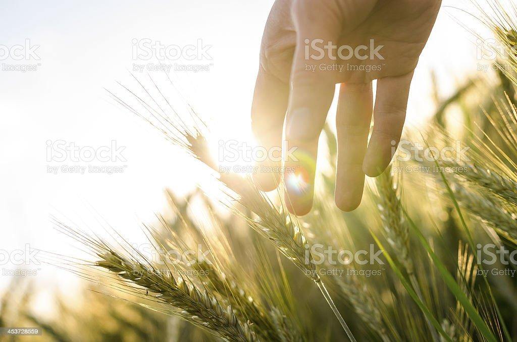 Farmer's hand berührt heads of wheat Pflanzen – Foto
