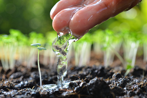 915680272 istock photo Farmer's hand watering a young plant 539482882