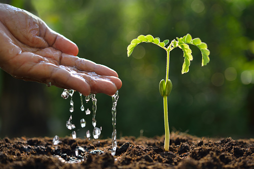 915680272 istock photo Farmer's hand watering a young plant 539640564