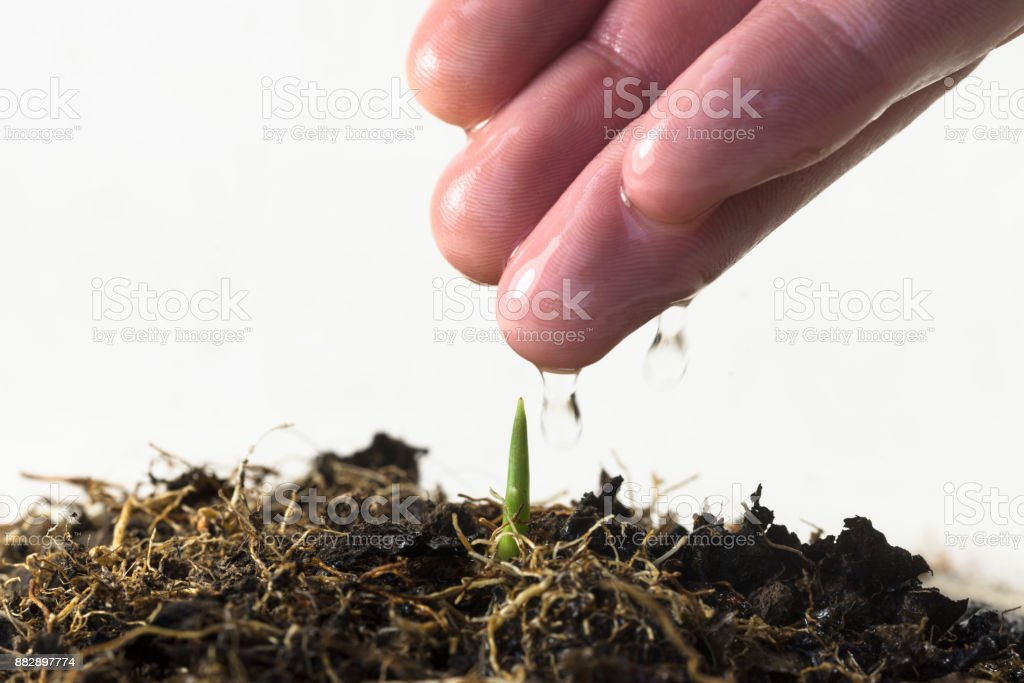 Farmer's hand watering a young plant stock photo