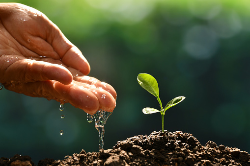 915680272 istock photo Farmer's hand watering a young plant 937601724