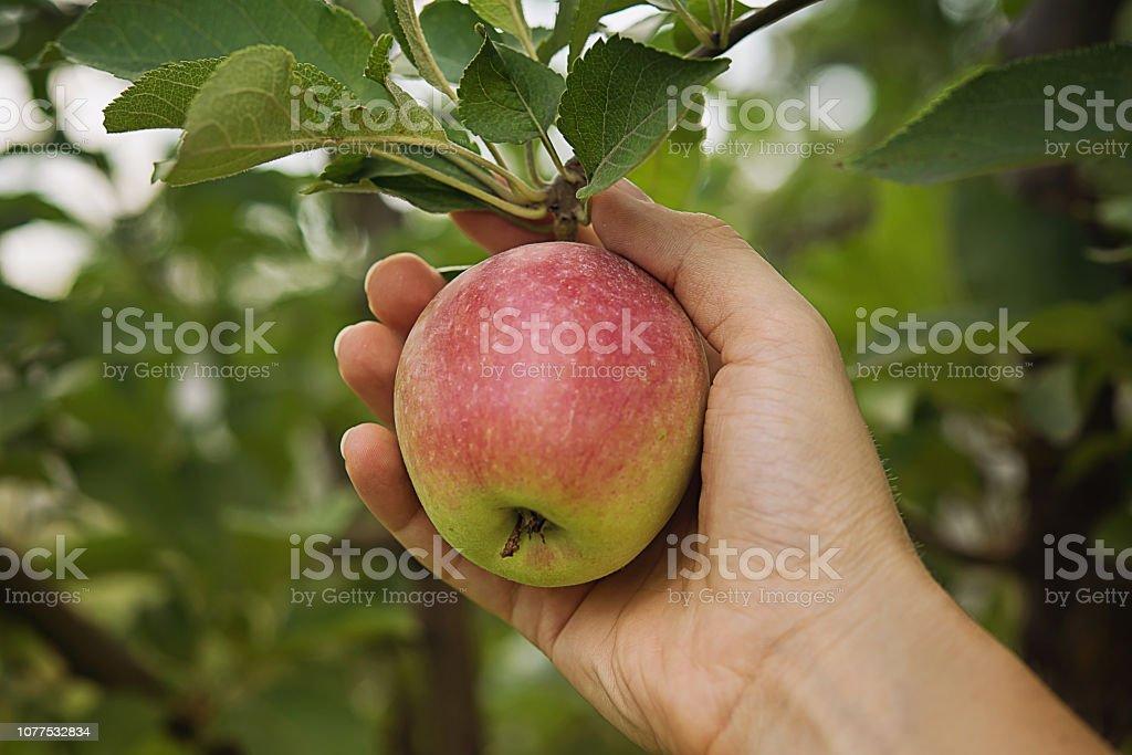 Farmer's hand met verse appel - Royalty-free Afvallen Stockfoto