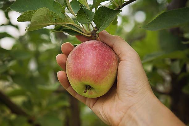farmer's hand met verse appel - plukken stockfoto's en -beelden