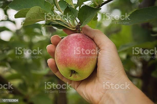 Farmers Hand Met Verse Appel Stockfoto en meer beelden van Afvallen