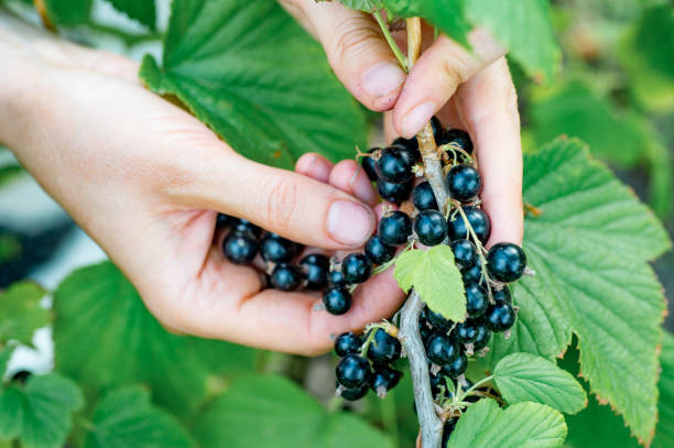 Farmer's hands collecting ripe blackcurrant from the bush stock photo