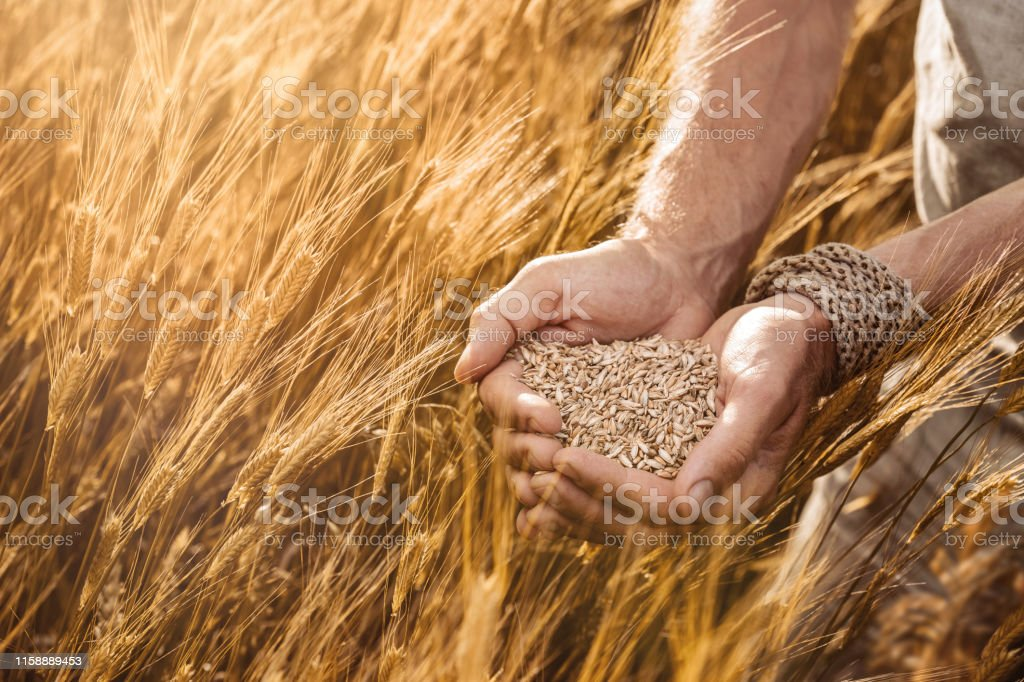 Close up of farmer\'s hands holding organic einkorn wheat seed on the...