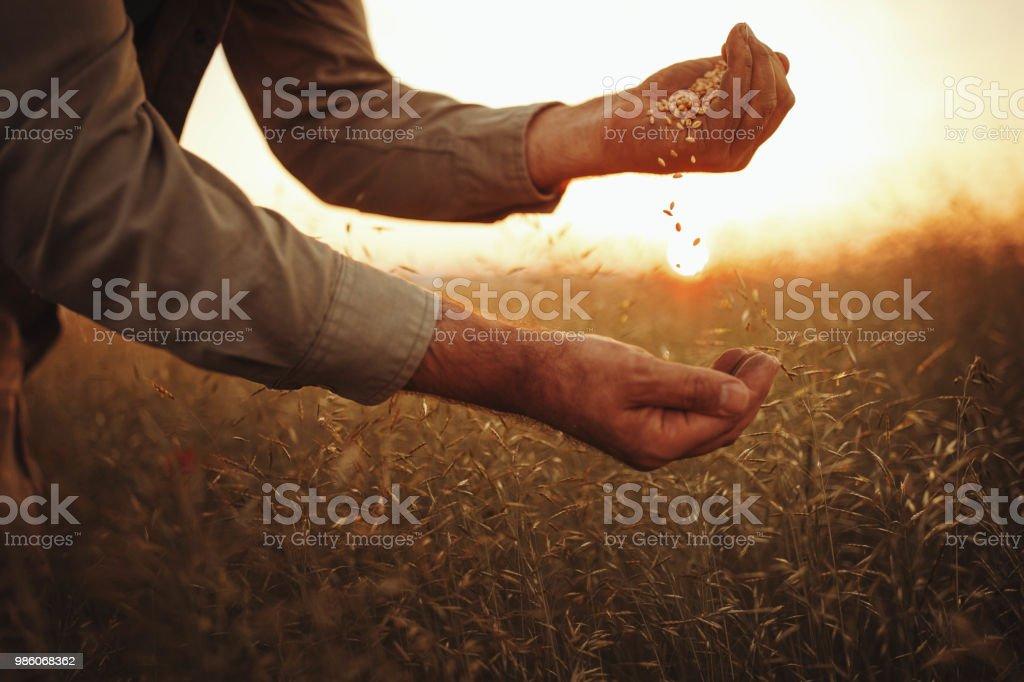 Farmer es Hände halten Weizenkörner – Foto