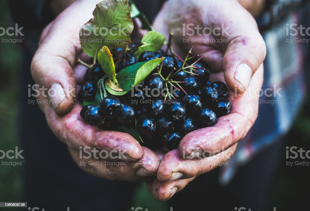 Farmer's hands with freshly harvested chokeberries – zdjęcie