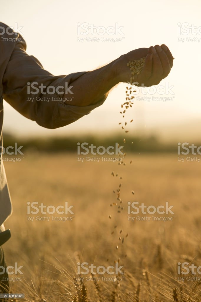 Farmer's Hands With Wheat Grains stock photo