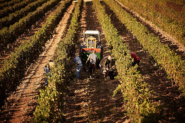 Farmers harvesting grapes together at vineyard High angle view of farmers harvesting grapes together at vineyard agricultural cooperative stock pictures, royalty-free photos & images