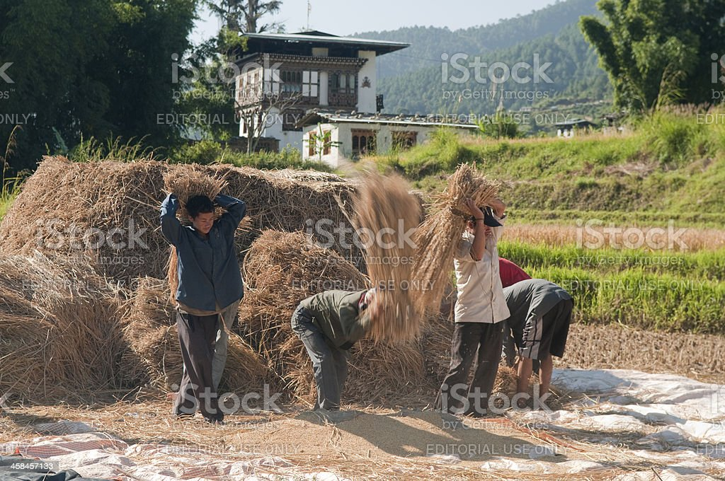 Farmers Harvesting Rice in Bhutan stock photo