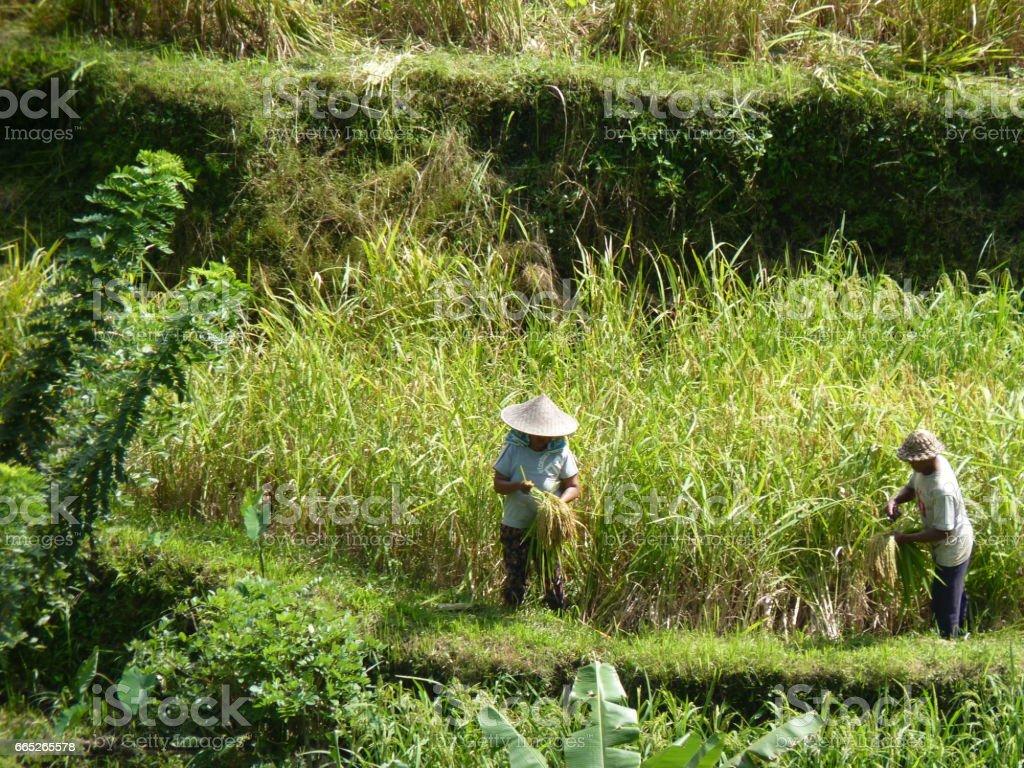 Farmers harvesting rice in rural field, Tegalalang, Bali, Indonesia stock photo