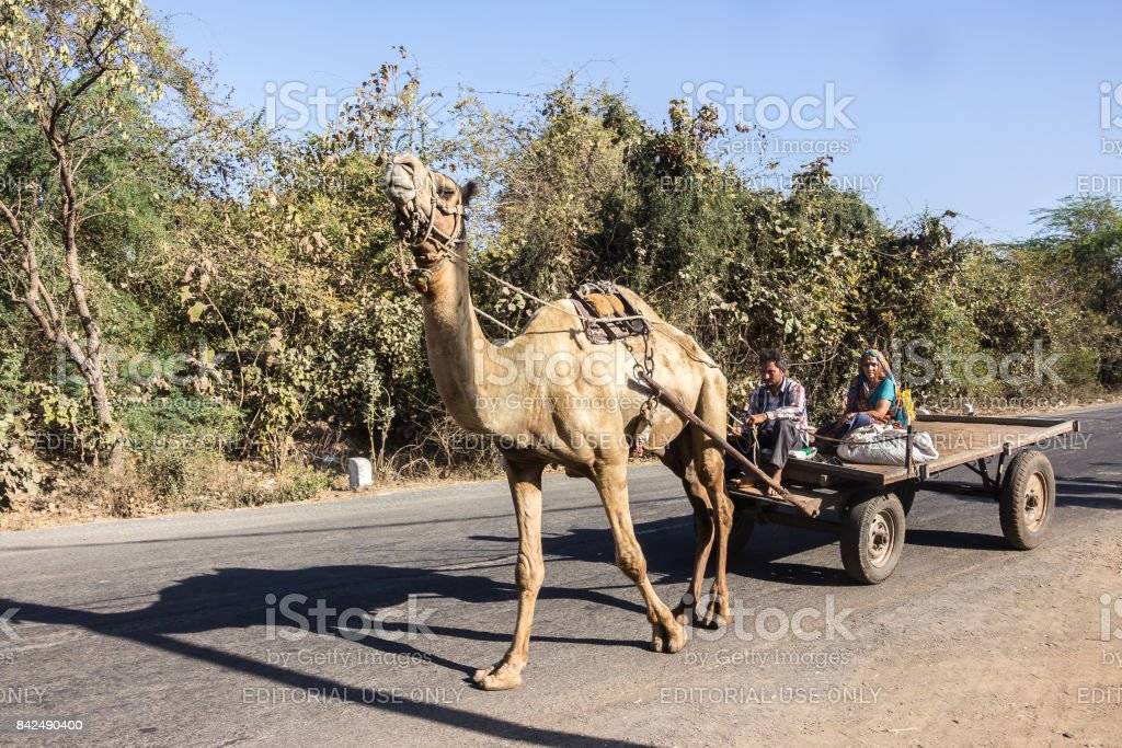 farmers in a camel cart stock photo