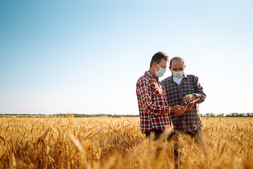 Farmers in sterile medical masks discuss agricultural issues on a wheat field.