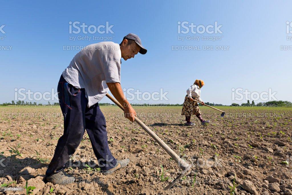 Farmers in the field, in Fergana Valley, Uzbekistan. stock photo
